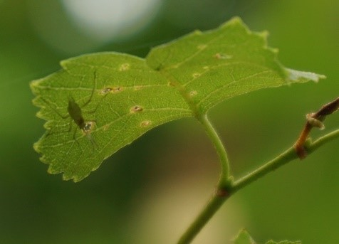 aphid_on_birch